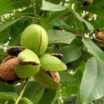 дърво Орех