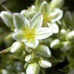 scleranthus flower